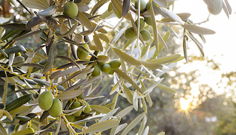 Fenoles del aceite de oliva virgen y aceituna de mesa: origen y evolución